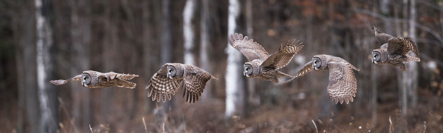 Owl in flight, Sax Zim Bog